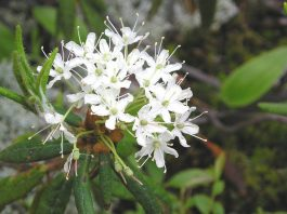 Health benefits of ledum essential oil