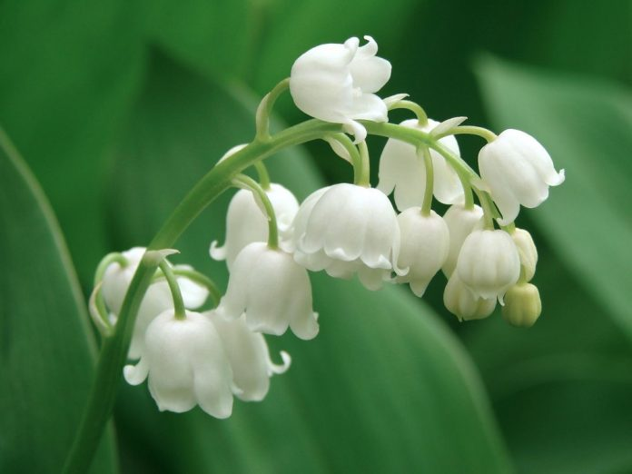 Health benefits of lily of the valley