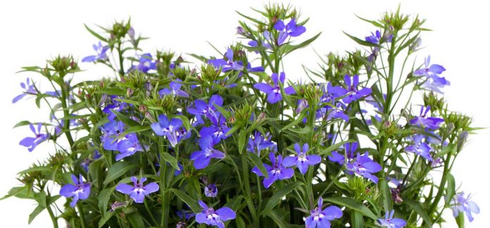 Health benefits of lobelia herb