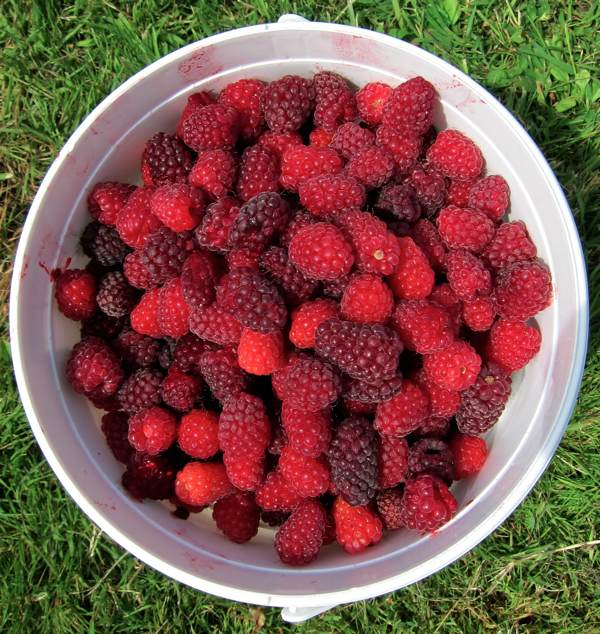 Health benefits of loganberry