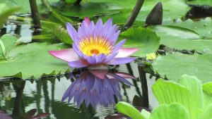 Health benefits of nymphaea caerulea