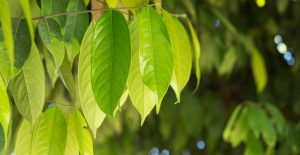Health benefits of ocotea essential oil