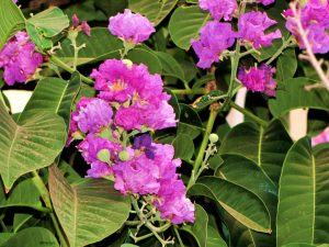 Health benefits of queen's flower