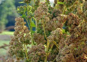 Bienfaits du quinoa sur la santé &quot;width =&quot; 300 &quot;height =&quot; 212 &quot;/&gt;</h3><h3 style=