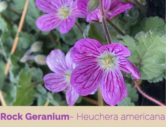 benefits of rock geranium