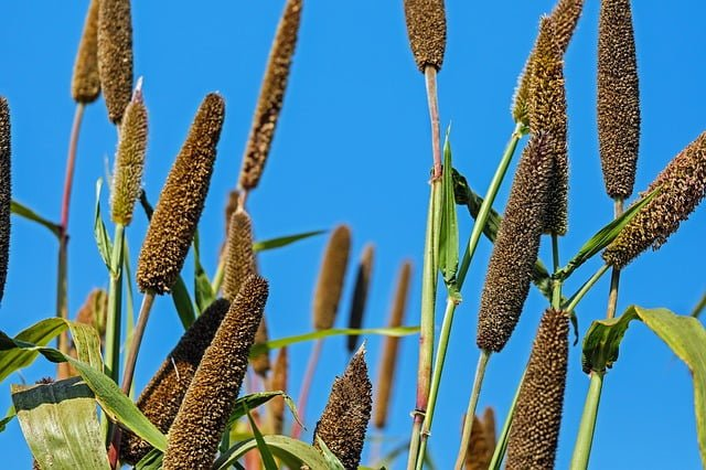 botanical description of pearl millet