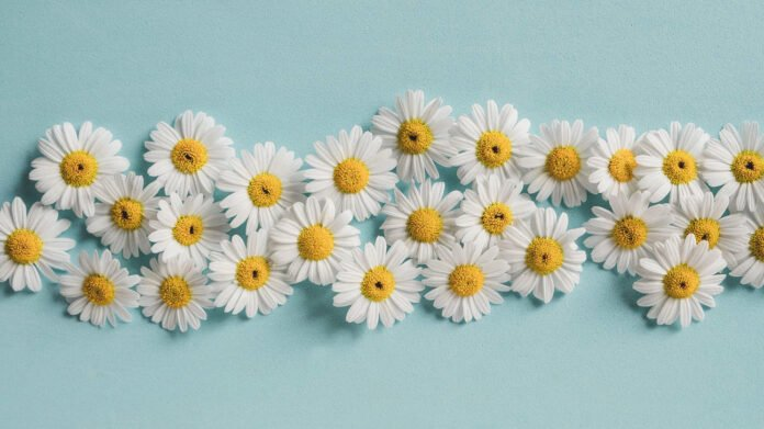 chamomile essential oil contraindications