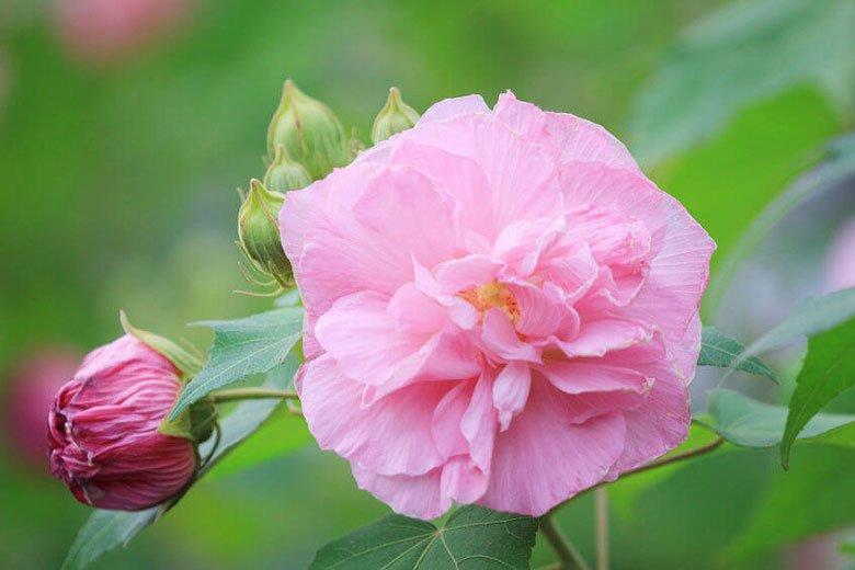 cotton rose hibiscus