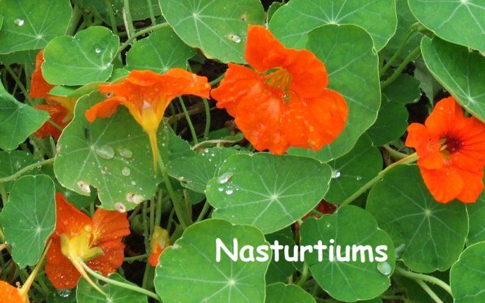 Health benefits of nasturtium