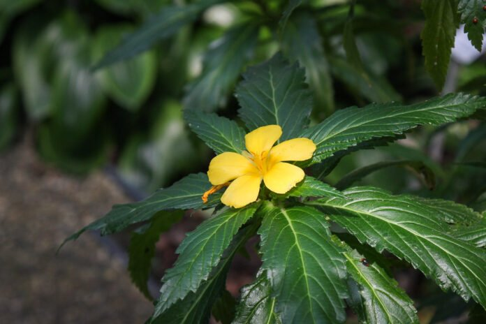 damiana side effects liver
