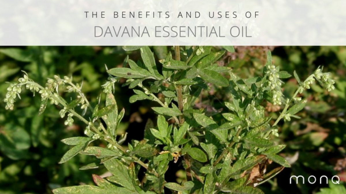 Davana Essential Oil Can Clear Phlegm Depositions And Tough Coughs