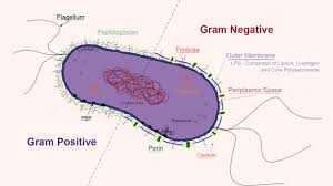 Gram negative infection