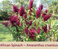 African Spinach