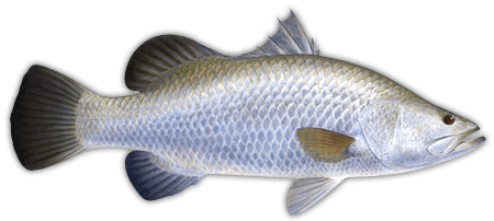 Health benefits of barramundi