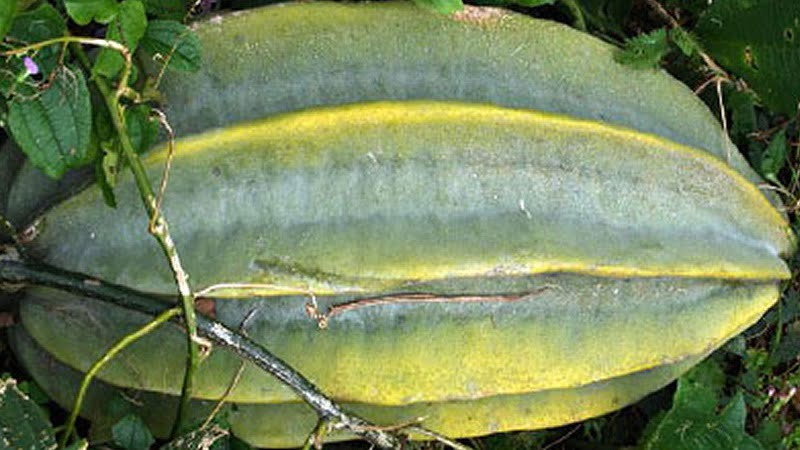 fluted gourd benefits
