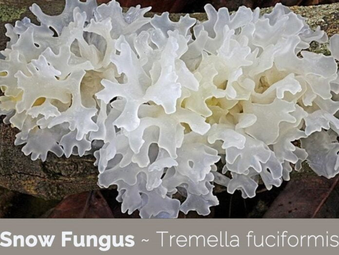 how to grow snow fungus