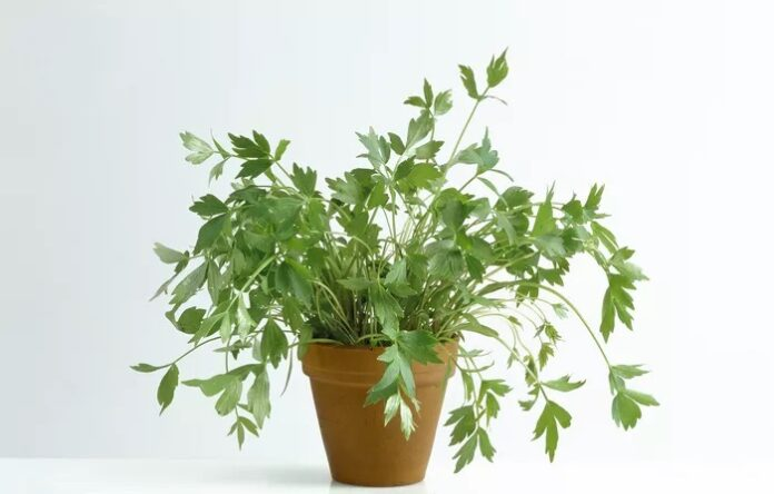 lovage oil benefits