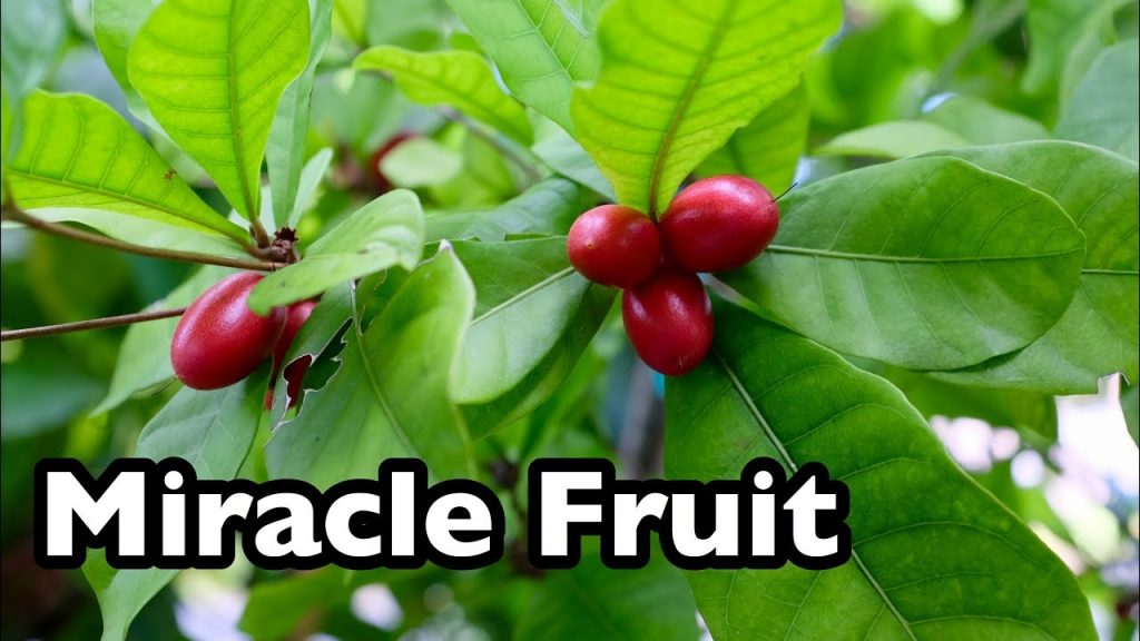 Health benefits of miracle fruit
