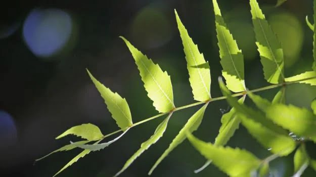 neem leaves for face