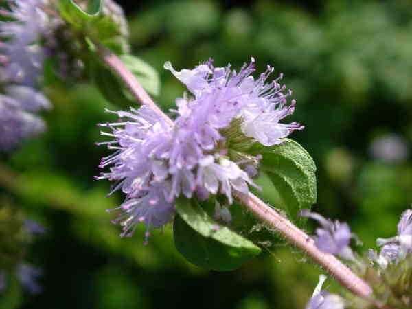 Health benefits of pennyroyal essential oil
