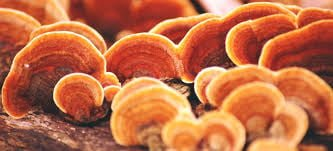 reishi mushroom side effects