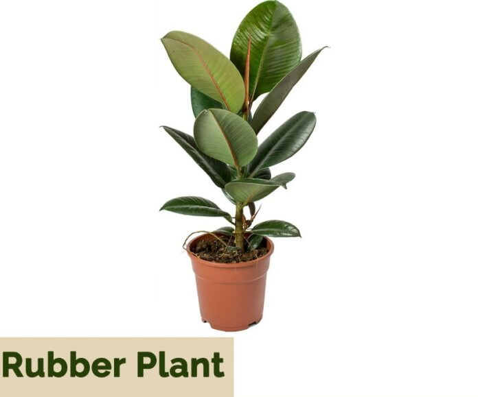 rubber plant indoor