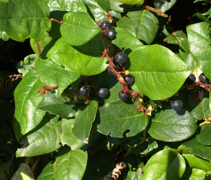 Health benefits of salal berries