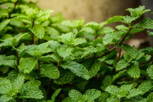 Health benefits of spearmint