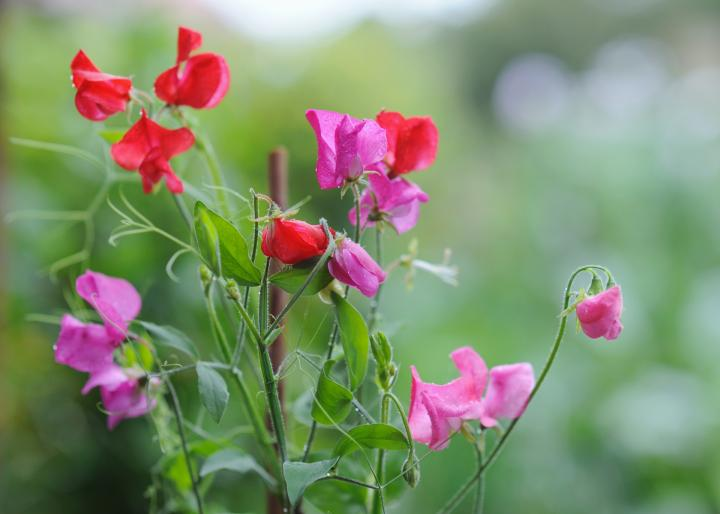 sweet pea leaves