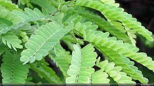 tamarind leaves recipe