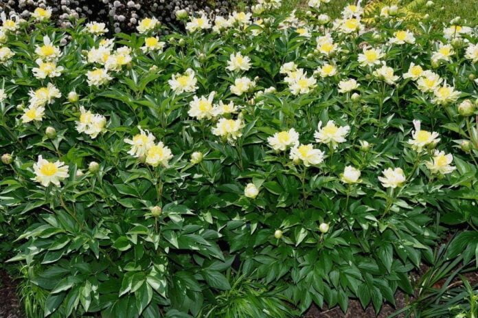 white peony meaning