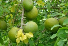 wood apple benefits