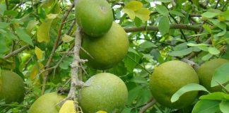 wood apple health benefits