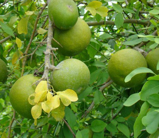 wood apple benefits