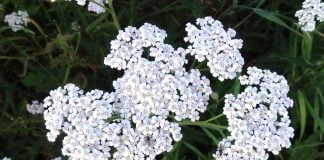 yarrow essential oil benefits